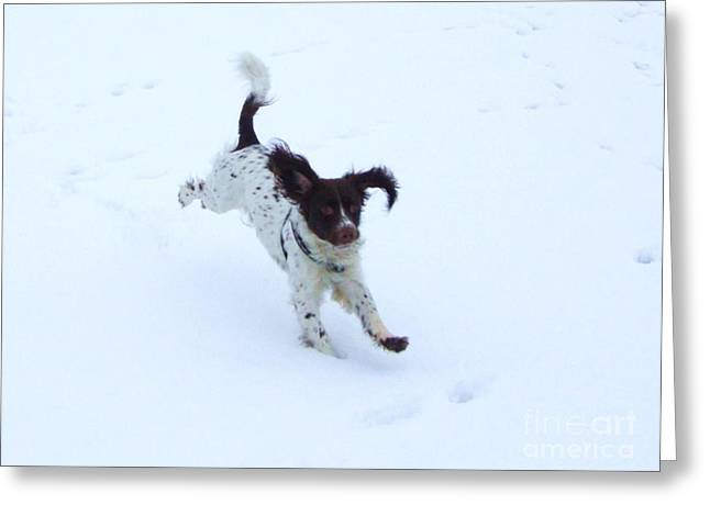 Springer Spaniel Greeting Card by Deborah Brewer