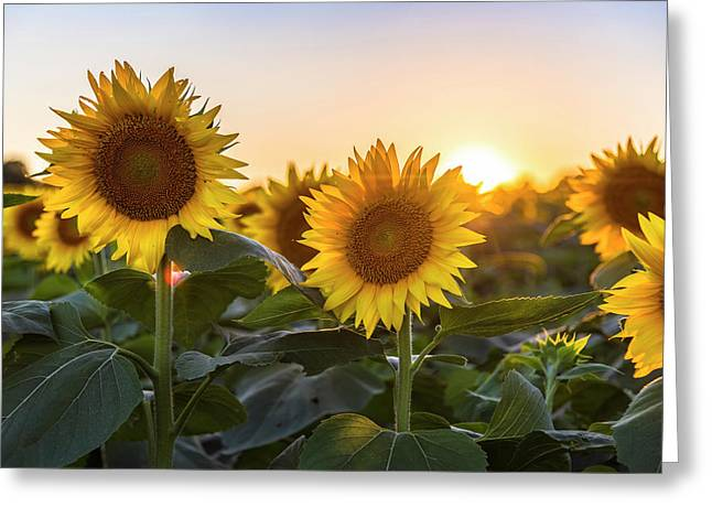Sunflower Sunset Greeting Card