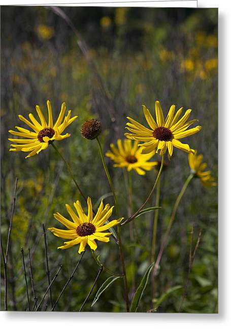 3 Sunflowers 8152 Greeting Card by Peter Skiba