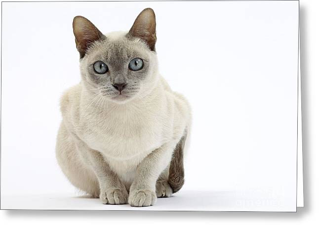 Tonkinese Cat Greeting Card by Jean-Michel Labat