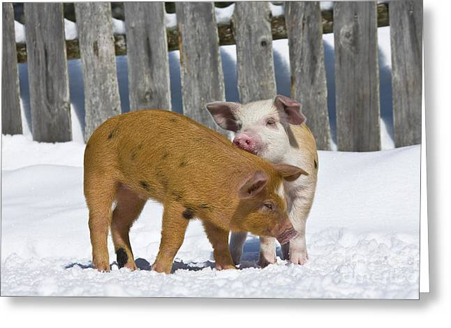 Two Piglets Playing Greeting Card