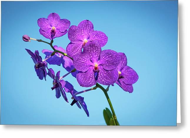 Vanda Orchids Pachara Delight Greeting Card