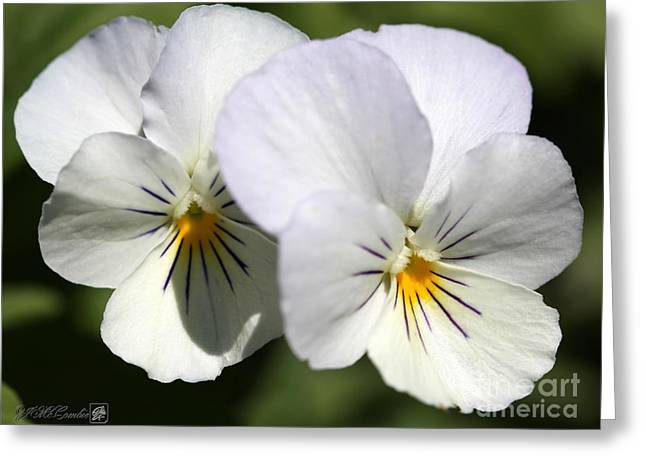 Viola Named Sorbet Yesterday, Today And Tomorrow Greeting Card