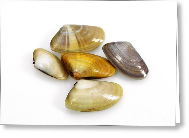 Wedge Shell Donax Trunculus Greeting Card by Gerard Lacz