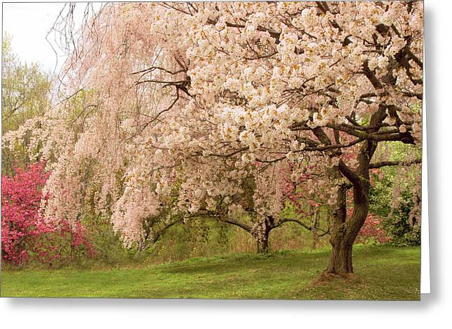 Weeping Cherry Greeting Card by Jessica Jenney