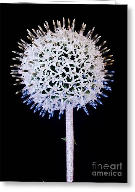 White Alium Onion Flower Greeting Card