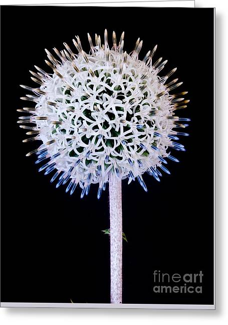 White Alium Onion Flower Greeting Card by Colin Rayner