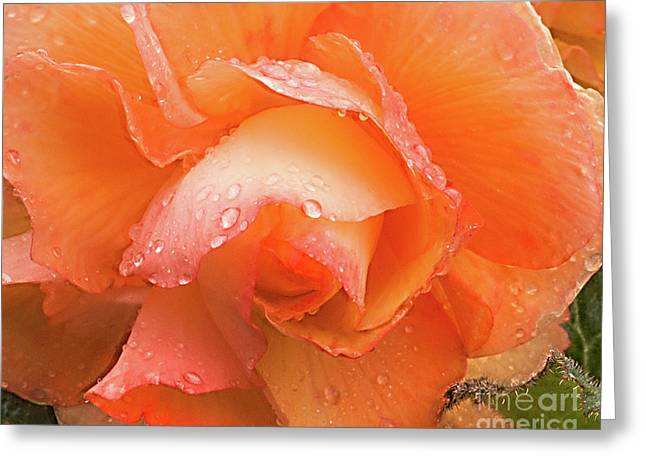 Yellow Begonia Greeting Card
