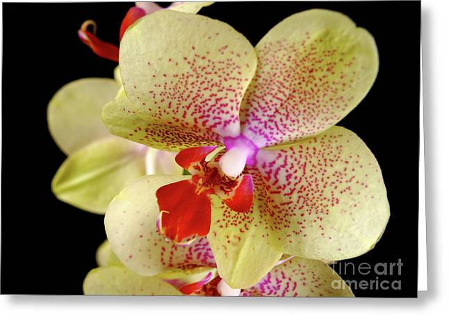Greeting Card featuring the photograph Yellow Orchid by Dariusz Gudowicz
