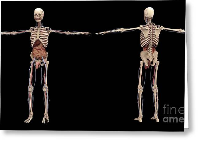 3d Rendering Of Human Skeleton Greeting Card by Stocktrek Images