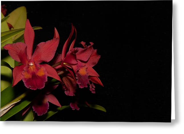 Cattleya Style Orchids Greeting Card