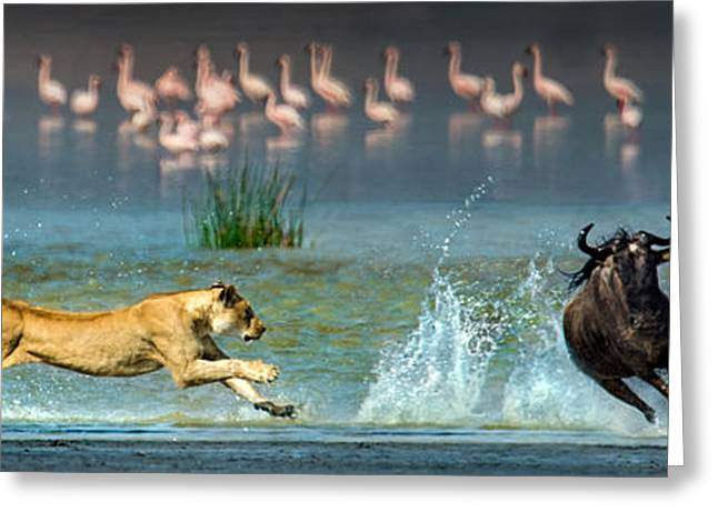 African Lioness Panthera Leo Hunting Greeting Card by Panoramic Images