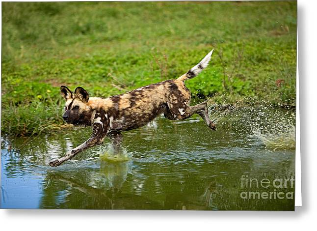 African Wild Dog Lycaon Pictus Greeting Card