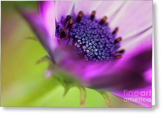 Anemone Coronaria Poppy Anemone Greeting Card