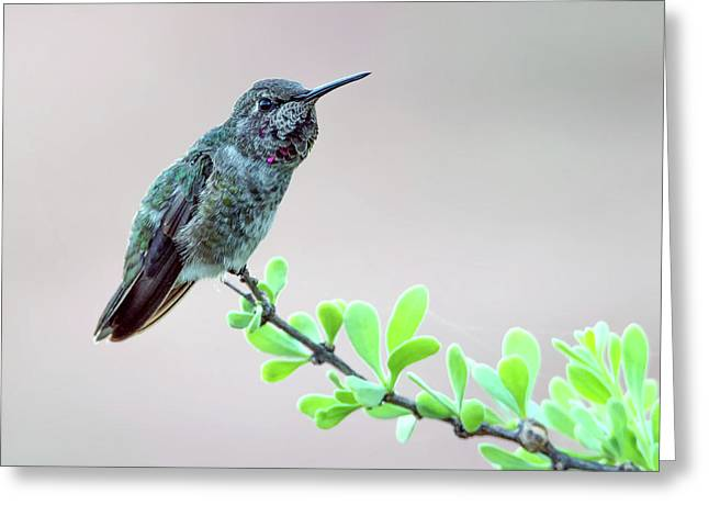 Anna's Hummingbird Greeting Card by Tam Ryan