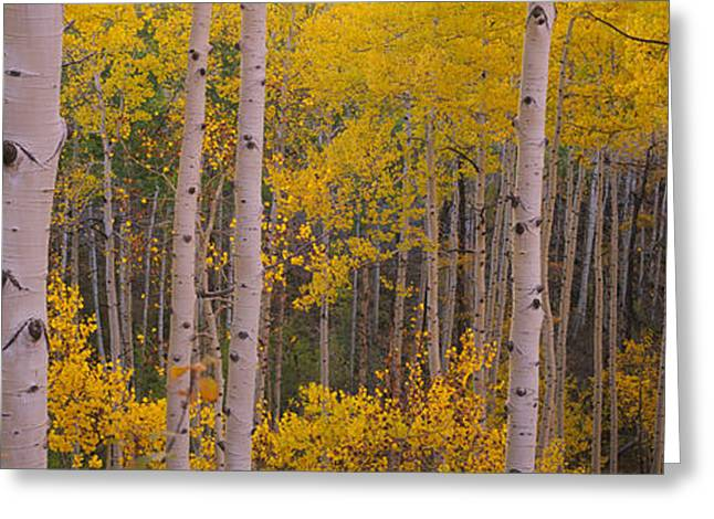 Aspen Trees In A Forest, Telluride, San Greeting Card by Panoramic Images
