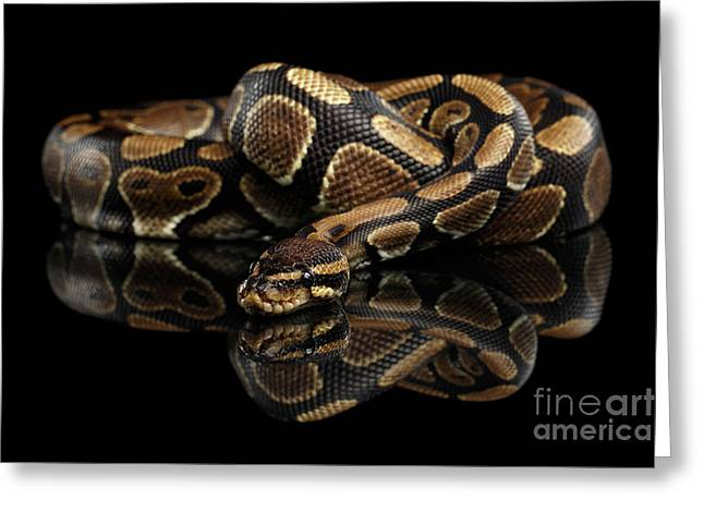 Ball Or Royal Python Snake On Isolated Black Background Greeting Card by Sergey Taran