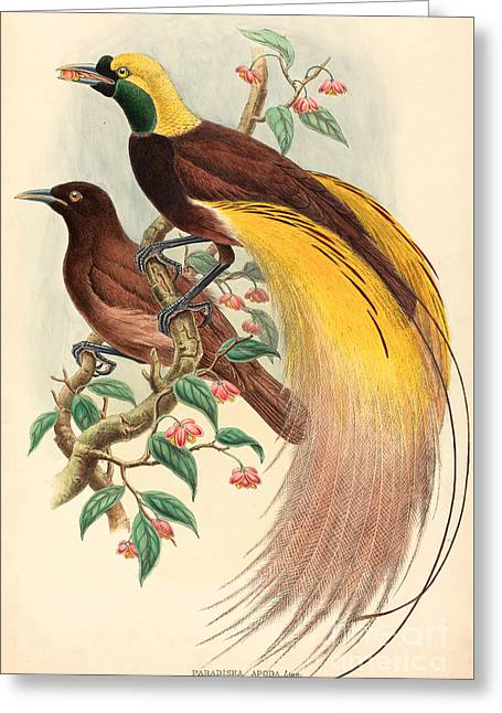 Bird Of Paradise Greeting Card by John Gould