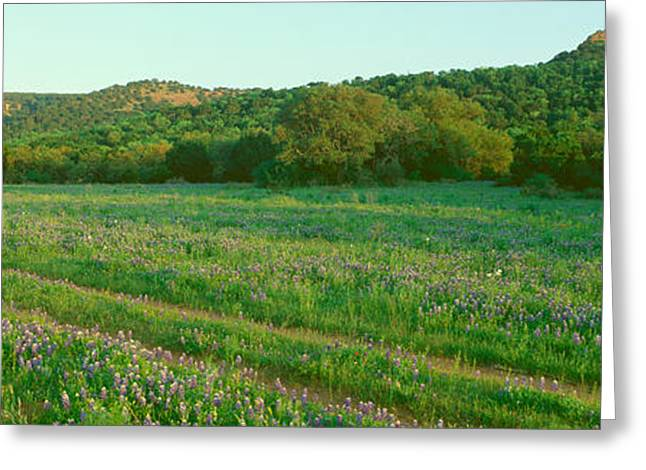 Blue Bonnets In Hill Country, Willow Greeting Card by Panoramic Images