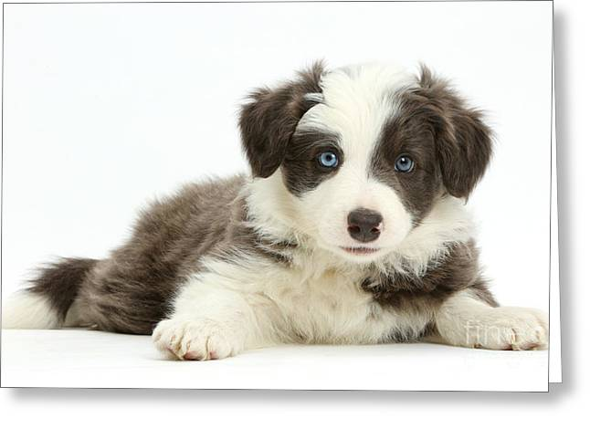 Border Collie Puppy Greeting Card by Mark Taylor