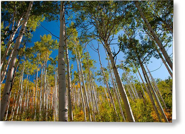 Colorado Aspens Greeting Card by Terry Runion