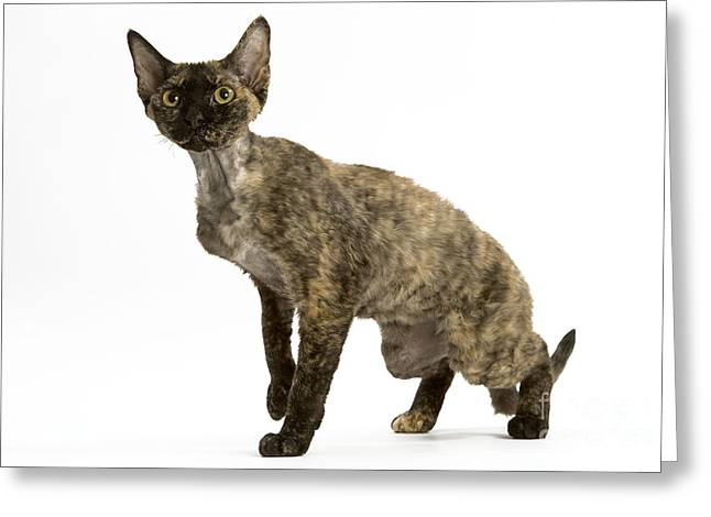 Devon Rex Cat Greeting Card