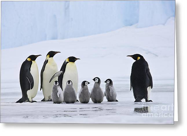 Emperor Penguins And Chicks Greeting Card by Jean-Louis Klein & Marie-Luce Hubert