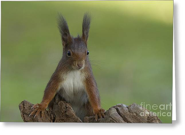 European Red Squirrel Greeting Card