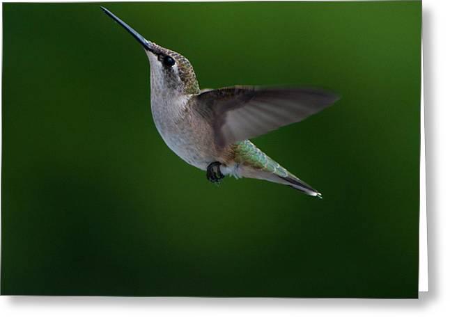 Female Ruby Throated Hummingbird Greeting Card