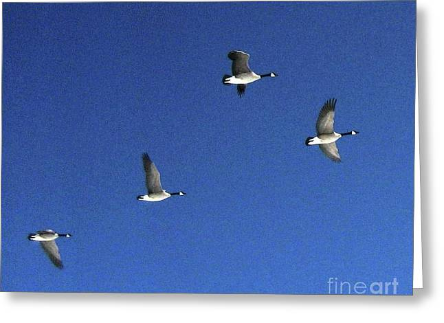 4 Geese In Flight Greeting Card