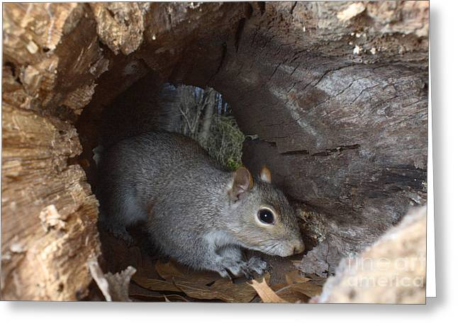 Gray Squirrel Greeting Card by Ted Kinsman