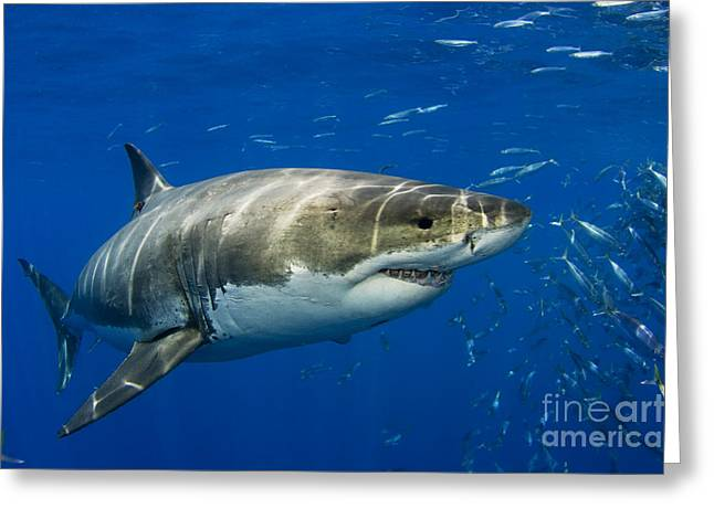 White Shark Greeting Cards - Great White Shark Greeting Card by Dave Fleetham - Printscapes