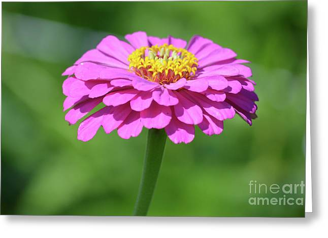 Hot Pink Zinnia  Greeting Card by Ruth Housley