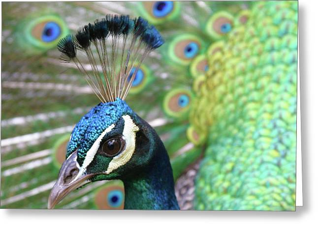 Indian Blue Peacock Greeting Card by Sharon Mau