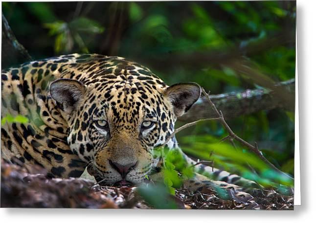 Jaguar Panthera Onca, Pantanal Greeting Card by Panoramic Images