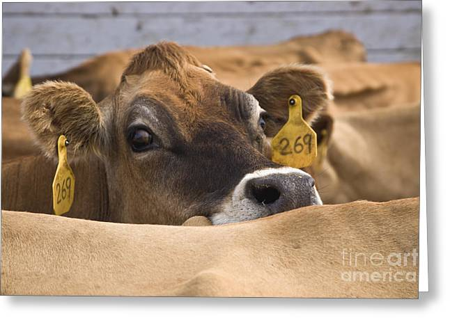 Jersey Cow Greeting Card by Inga Spence