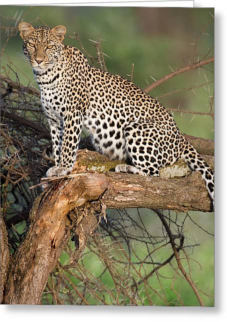 Leopard Panthera Pardus Sitting Greeting Card by Panoramic Images