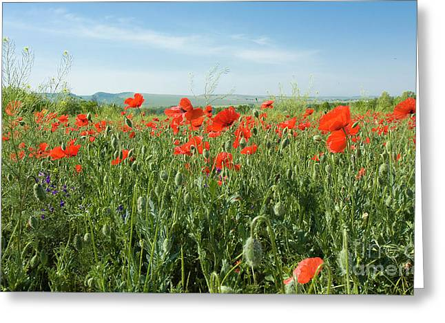 Meadow With Red Poppies Greeting Card