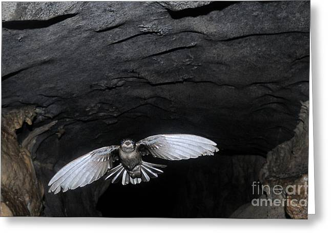 Mossy Swiftlet In Racer Cave Greeting Card by Fletcher & Baylis