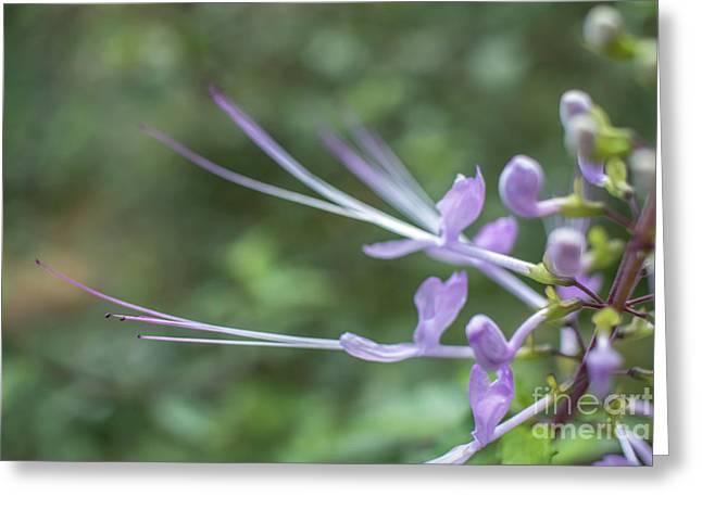 Orthosiphon Stamineus Orthosiphon Aristatus, Purple Flower Also Greeting Card