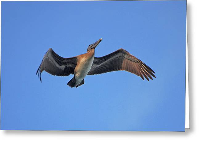 Greeting Card featuring the photograph 4- Pelican by Joseph Keane