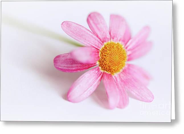 Pink Aster Flower Greeting Card by Nick Biemans