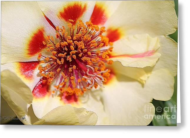 Portulaca Named Sundial Yellow Greeting Card by J McCombie
