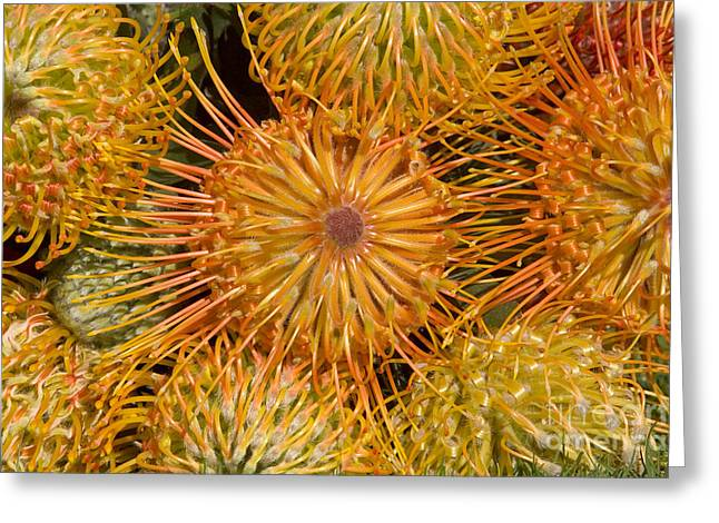 Protea Blossom Greeting Card by Ron Dahlquist - Printscapes