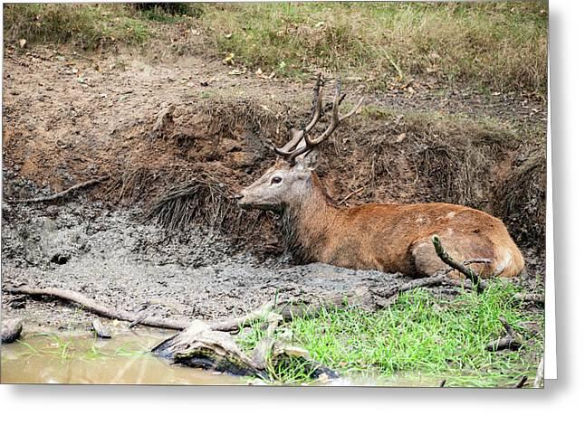 Red Deer Stag Cervus Elaphus Takes A Mudbath To Cool Down On Aut Greeting Card