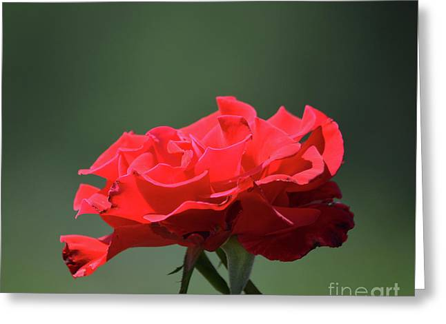 Red Rose Greeting Card by Ruth Housley