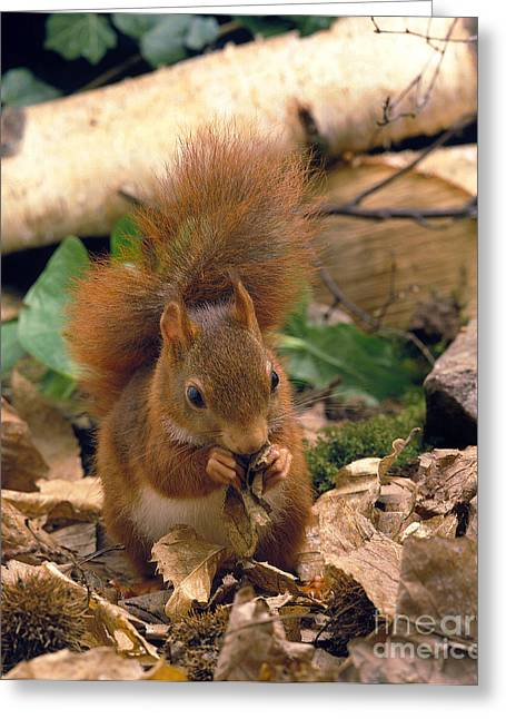 Red Squirrel Sciurus Vulgaris Greeting Card by Gerard Lacz