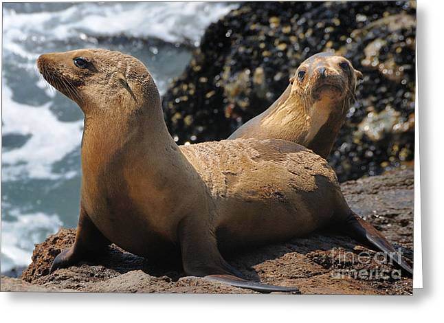 Sealions Greeting Card by Marc Bittan