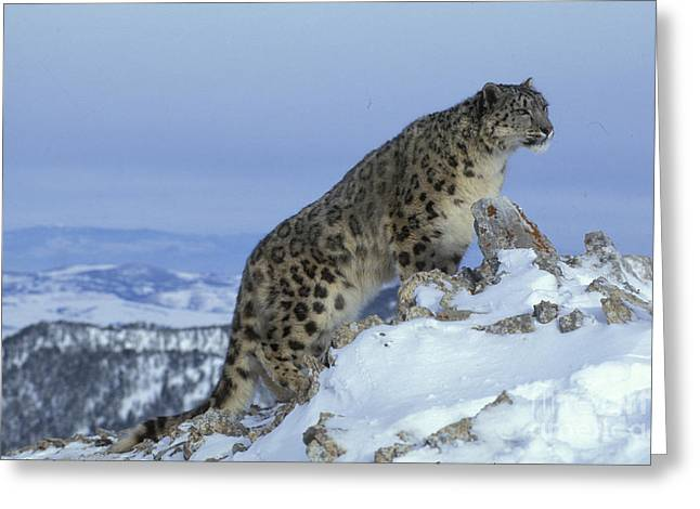 Snow Leopard Greeting Card by Jean-Louis Klein & Marie-Luce Hubert