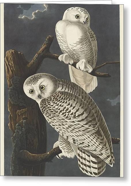 Snowy Owl Greeting Card by Rob Dreyer